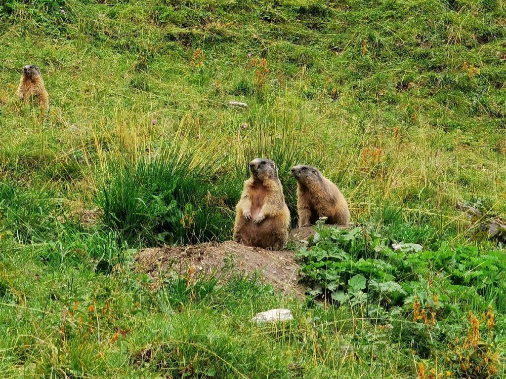 Einmalige Erlebnisse: Beim Wandern Murmeltiere aus der Nähe sehen!