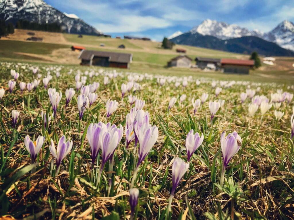 Frühlingswanderungen zu den bunten Krokuswiesen - das begeistert mich besonders